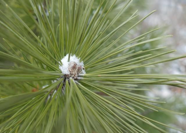 pine needles and snow