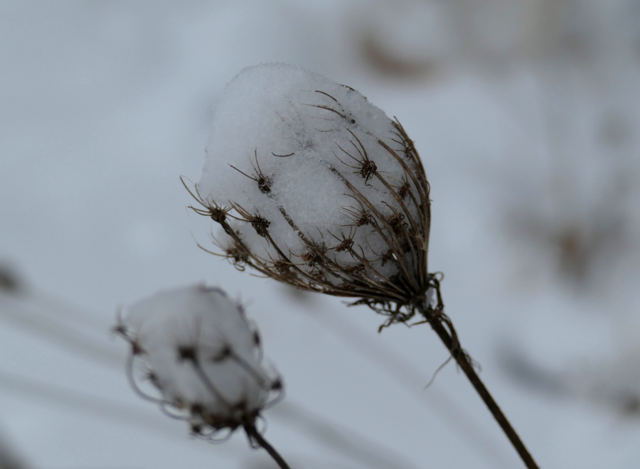 dried queen anne's lace with snow